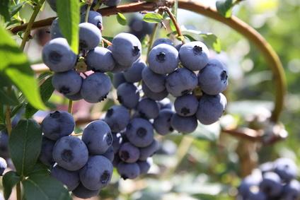 6 Vertus nutritionnelles des bleuets